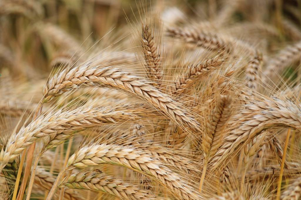 All You Need to Know About Wheat